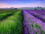 The Endless Lavender Field