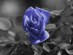 Lite Blue Rose