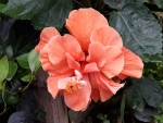 Orange Clor Hibiscus