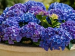 Blue-Violet Hydrangea in a Pot