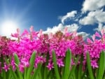 Pink Hyacinths Against the Blue Sky