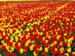 Red & Yellow Tulip Field