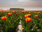 Plain Rows of Tulips