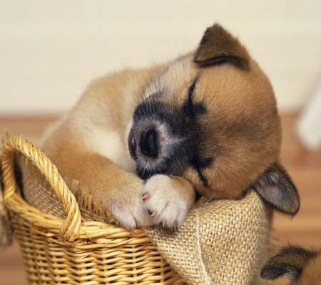 Sleeping Puppy - basket, sleeping, animal, dog, puppy