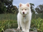 White Puppy Stands on a Stone