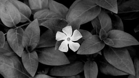 Beautiful Flower - flower, nature, monochrome, plants
