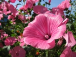 Lavatera Close Up