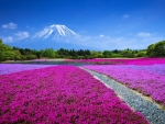 Flower Field with the Mount Fuji , Japan