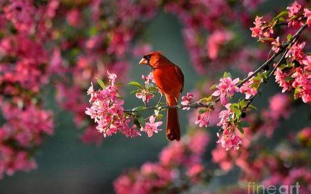 Cardinal Birds Amp Animals Background Wallpapers On