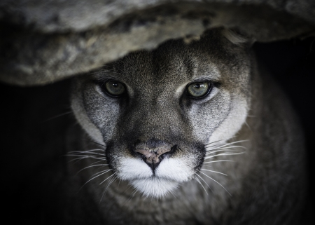 Mountain Lion Cats Animals Background Wallpapers On Desktop