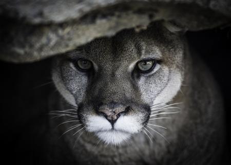 Mountain Lion Cats Animals Background Wallpapers On Desktop Nexus Image 2381744