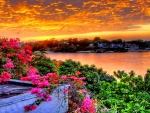 BOUGAINVILLEA at DAWN