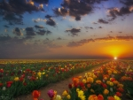 Spring Tulips on a Sunset