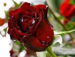 Droplets on Red Roses
