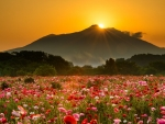Sunrise over Meadow of Poppies