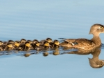 The Wood Duck Family out Cruising