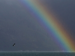 Bald eagle flies near a rainbow