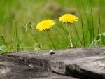 Dandelions At The Tree Stump