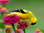 Zinnias And Goldfinch