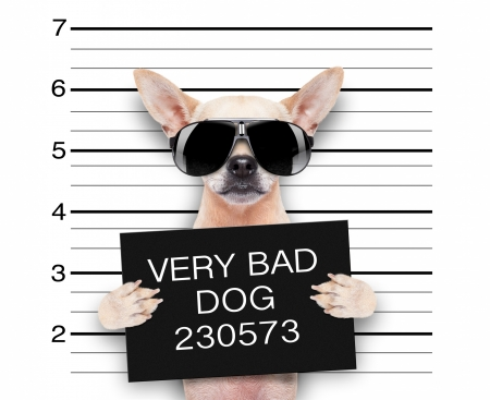 Very Bad Dog - sunglasses, cute, chihuahua, caine, paw, funny, animal, bad dog