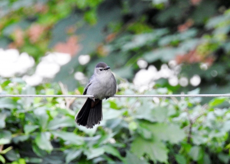 Grey Catbird - Grey Catbird, Spring, Animal, Bird, Photography