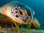 Undersea Turtle Closeup