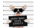 Funny Bad Chihuahua With Glasses