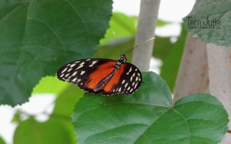 Butterfly on Leaf - nature, leaves, butterfly, animals