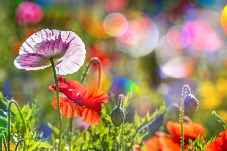 Summer flowers flowers nature background wallpapers on desktop summer flowers pretty grass fresh poppies beautiful summer flowers mightylinksfo