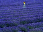 Alone on the Lavender Field