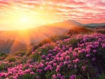 Sunset is a Mountain with Pink Rhododendron