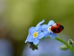Ladybug And Forget Me Not