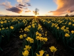 Daffodil Field At Sunset