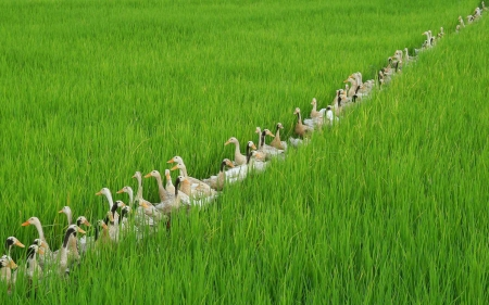 :) - grass, pasare, bali, rice, duck, bird, green, indonesia, field