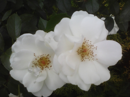 Beautiful roses - flowers, garden, roses, white