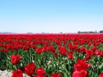 Blooming Tulip Field