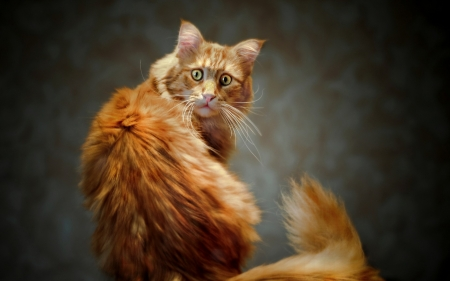 Cat - look, ginger, funny, cat, animal