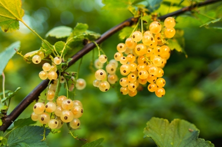 Yellow berries - pretty, quality, vine, photography, berries, yellow