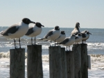 Seagulls Perched on Posts