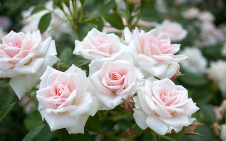 White Roses - Flowers, Roses, Softness, Nature, Pretty