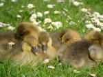 Ducklings Sleeping