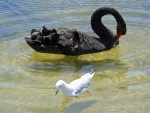 Black Swan and Seagull