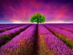 Lone Tree in the Lavender Field
