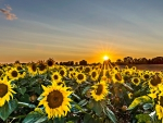 Sunflower Field During Golden Hour