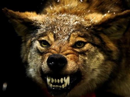 angry wolf - face, wolf, dog, teeth