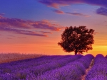 Lavender Field with a Lone Tree