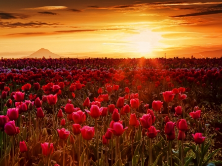 Endless Tulips Field - hayland, raid, sunset, clouds, mountain, heaven, nature, tulips, field