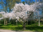 Spring White Flowering Tree
