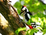The Woodpecker