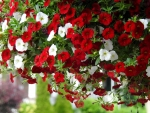 Million Bell Petunias In Red And White
